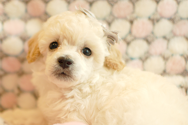 トイプードル子犬8月8日撮影