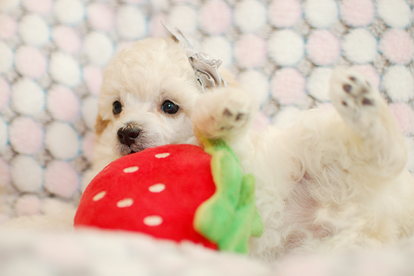 トイプー子犬