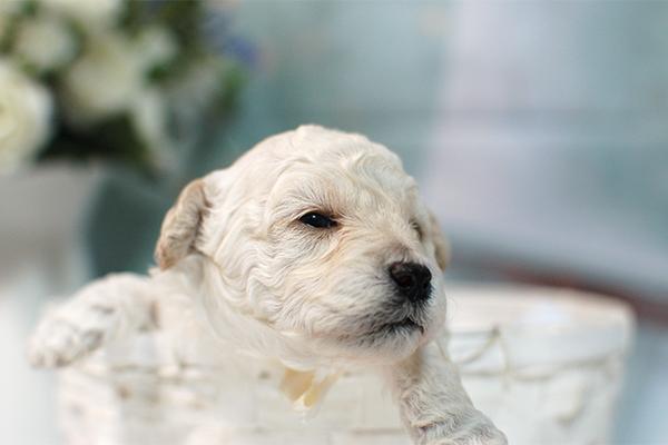 トイプードルの子犬