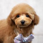 神奈川プードル子犬