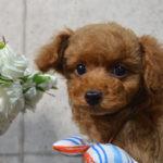 プードル子犬