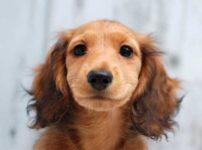 メスダックス子犬